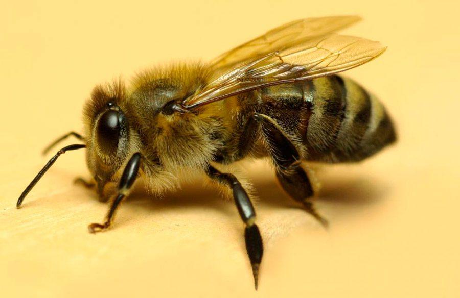 Los animales m s agresivos del mundo for Ahuyentar abejas jardin