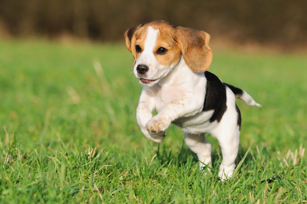 Beagle Perros Más Bonitos Del Mundo Imágenes Y Fotos