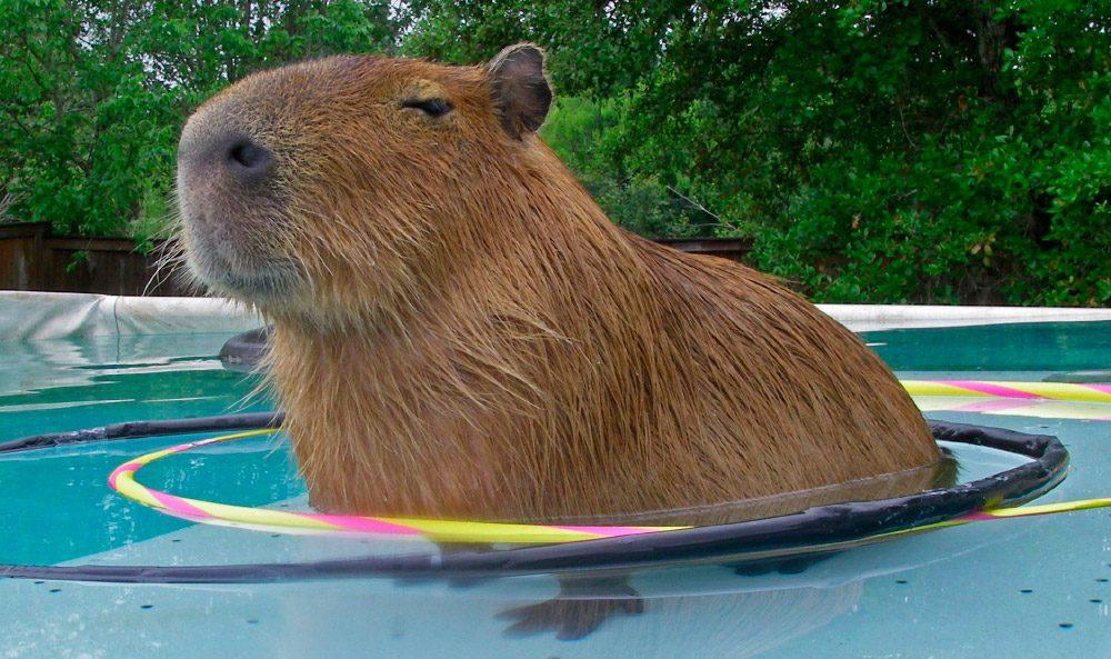 Carpincho, roedores más grandes del mundo