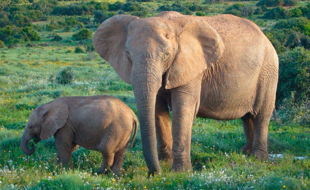Elefante Bush africano,elefantes más grandes