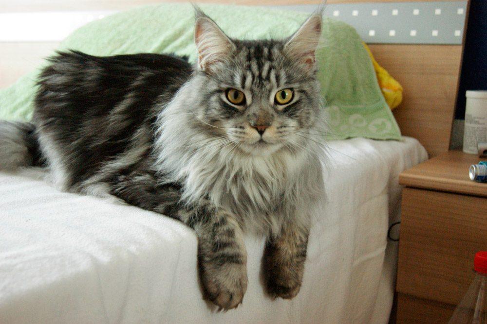 Gatos Maine coon, raza más grande del mundo