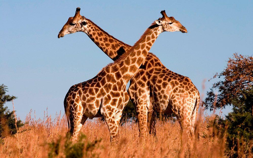 Jirafa, top de animales más grandes del mundo