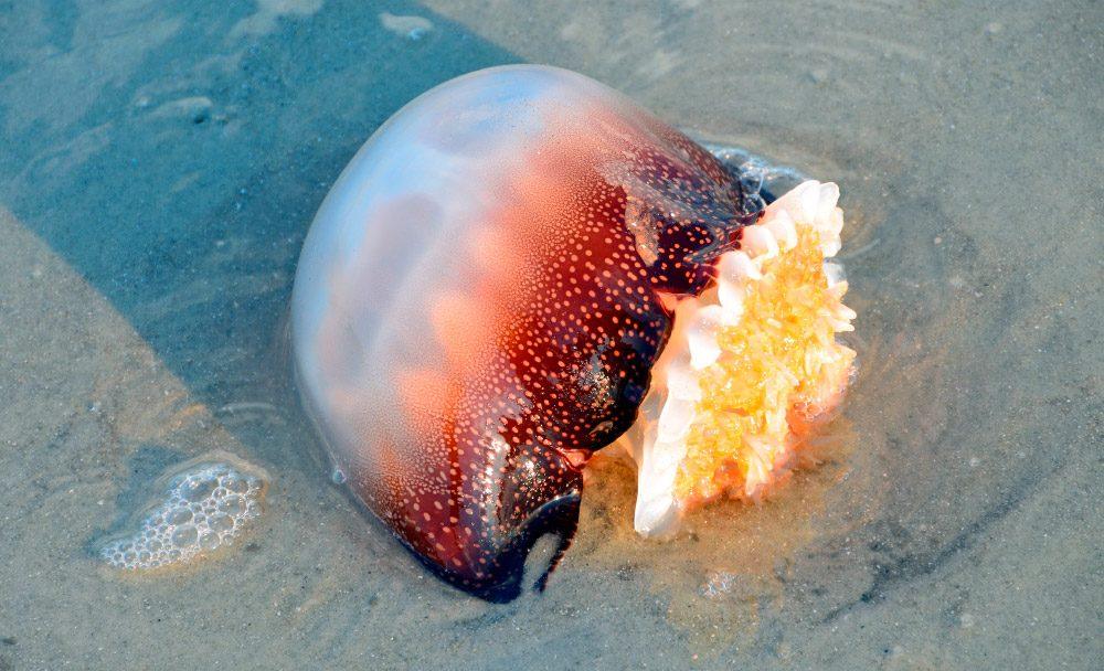 Las medusas m s venenosas del mundo - Como se alimentan las medusas ...