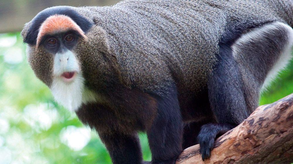 Monos De Brazza Animales Más Caros Del Mundo Imágenes Y Fotos