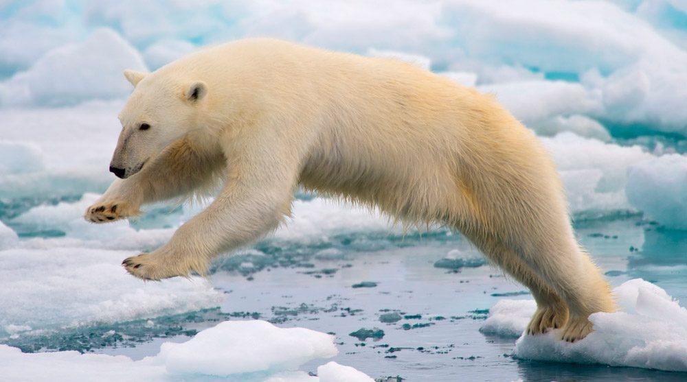Osos polares, osos más grandes del mundo