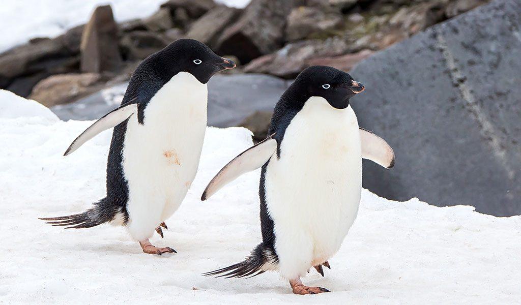 Pingüinos Animales En Peligro De Extinción Imágenes Y Fotos