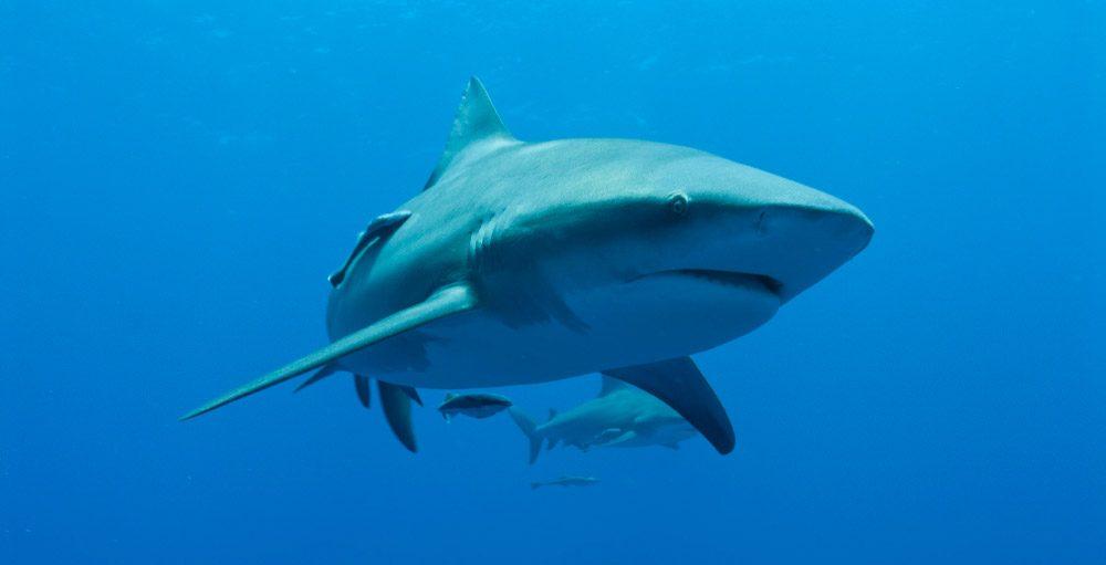 Tiburón lamia, tiburón más peligroso del Amazonas