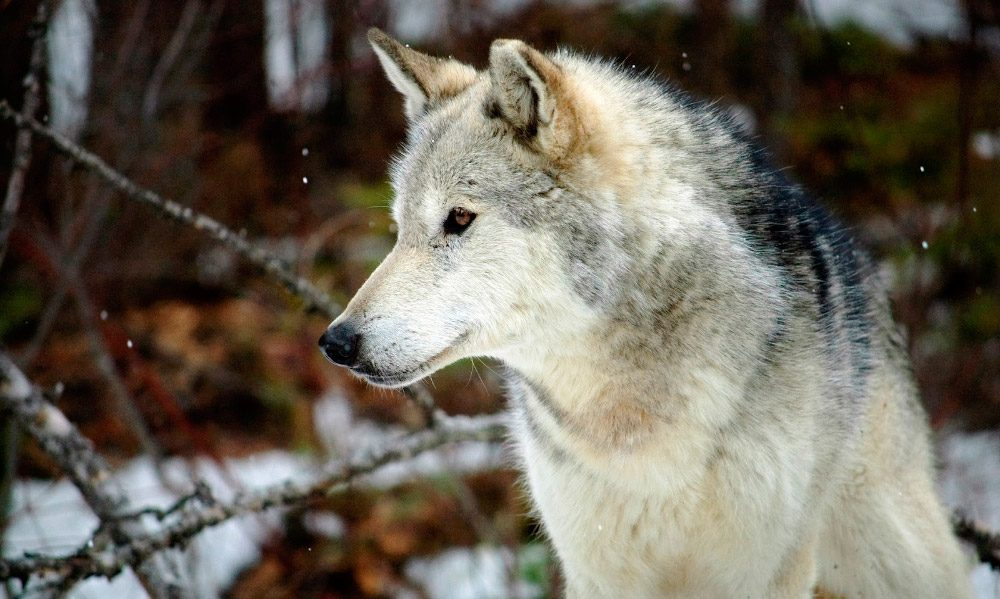 Lobo gris, top de animales más agresivos