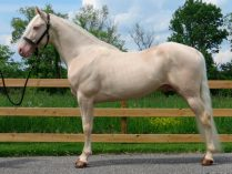 Caballos Tennessee Walker Cremello